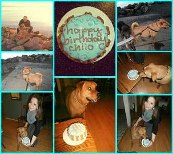 Chilo enjoying a birthday cake from pampered paw gifts