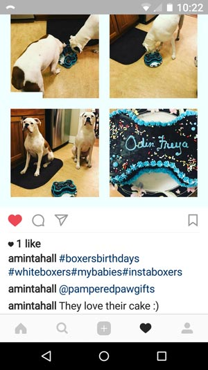 boxer dogs enjoying a birthday cake from pampered paw gifts