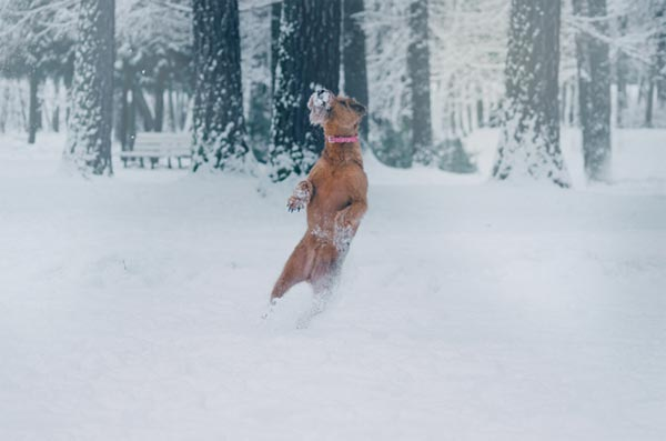 Dog Jumping and Playing in Snow