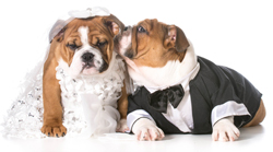 Bulldogs Dressed for Wedding