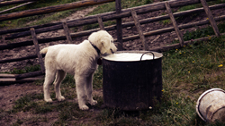 Dog Drinking From Large Food Pot
