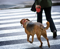 Dog on Retractable Leash in Crosswalk