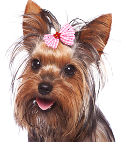 Yorkshire Terrier With Bow in Hair