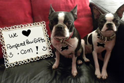 Boston Terrier who love pampered paw gifts