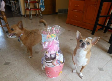 Laverne the chihuahua loves her birthday gift basket from pampered paw gifts